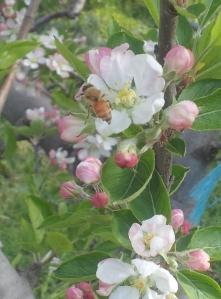 european bee